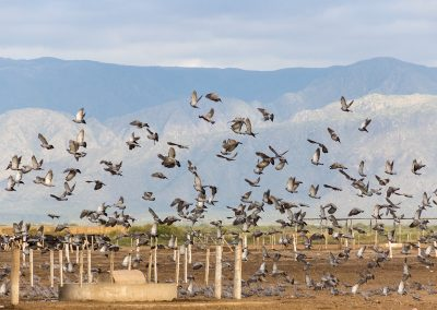 doves and pigeons in Argentina