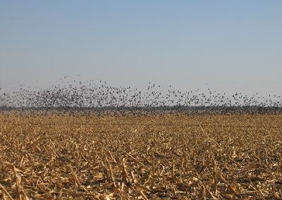 hundred thousands of acres of roosts